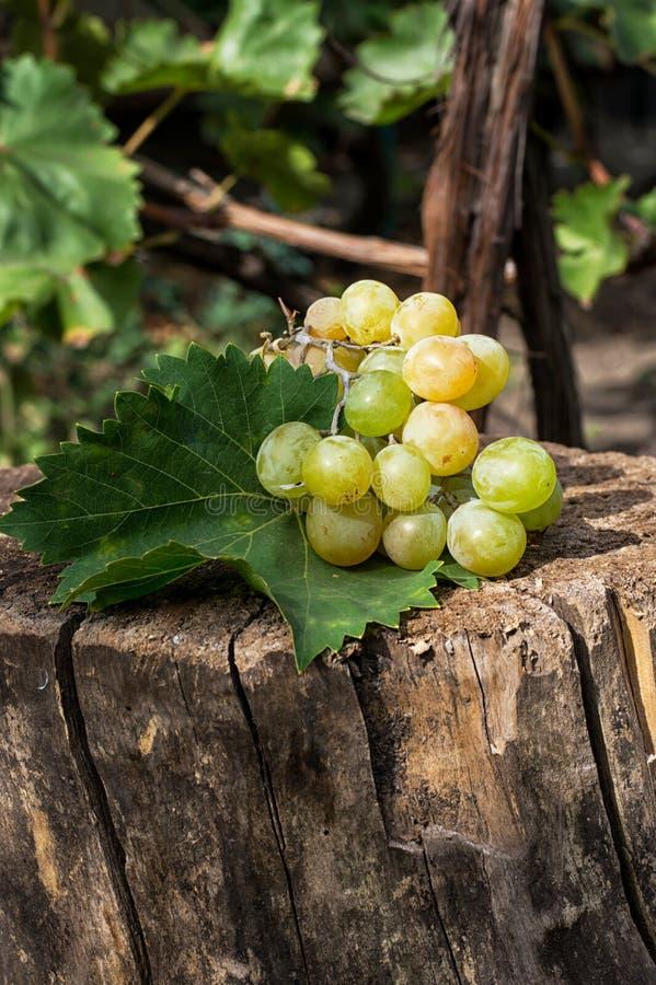 Uvas maduras de la vid foto de archivo