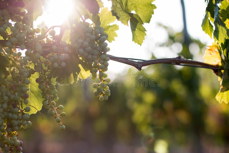 Uvas maduras de la vid en una granja, Toscana, Italia fotos de archivo