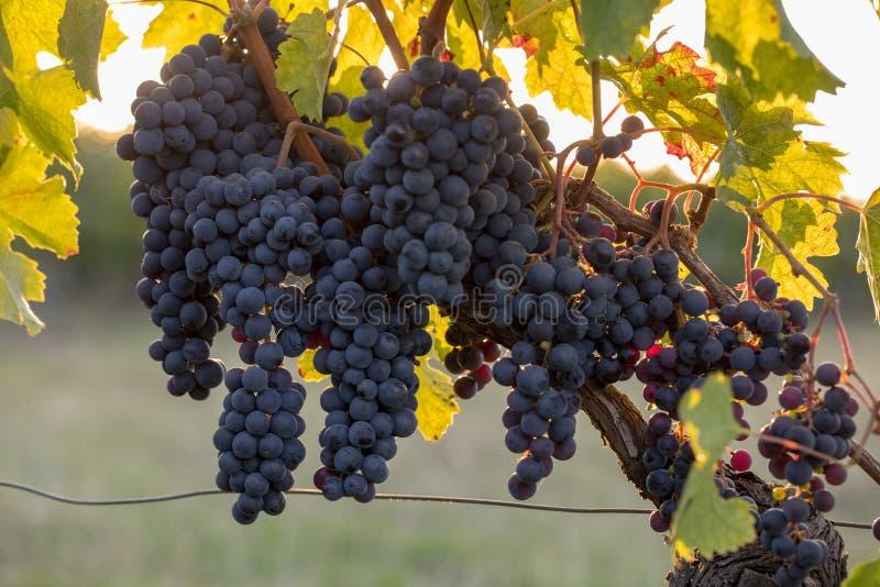 Uvas maduras do Merlot iluminadas pela luz do sol atrasada morna no vinhedo perto de Saint Emilion, Gironda de Montagne, Aquitain fotografia de stock royalty free