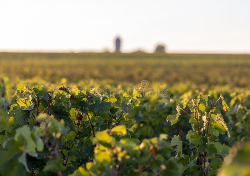 Uvas maduras do Merlot iluminadas pela luz do sol atrasada morna no vinhedo perto de Saint Emilion, Gironda de Montagne, Aquitain imagens de stock