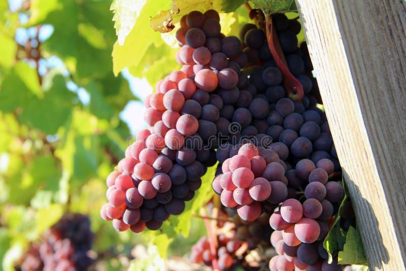 Uvas maduras do vinho tinto imagem de stock