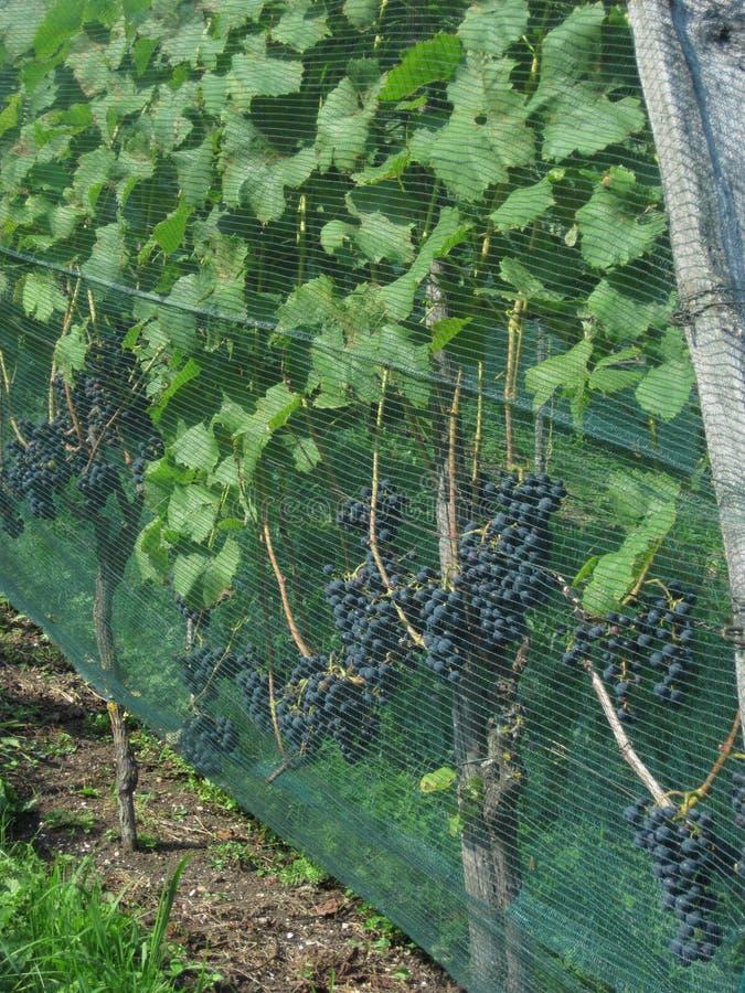 Uvas maduras em um vinhedo imagem de stock