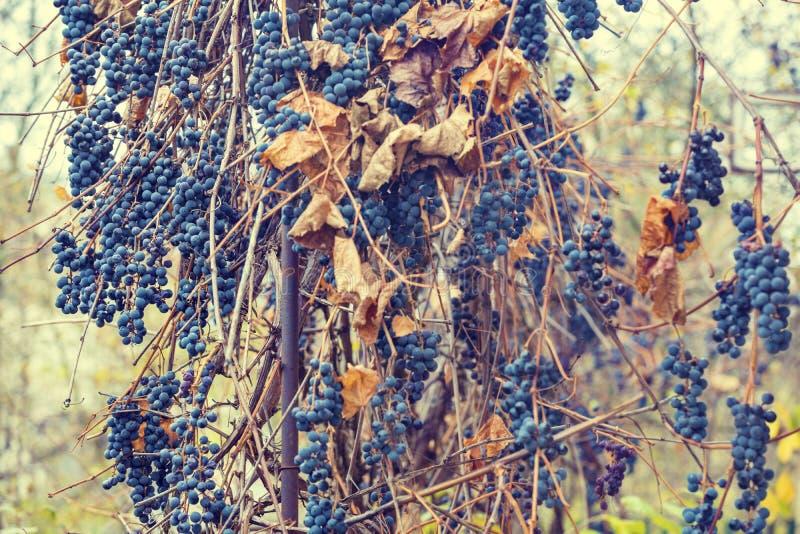 Uvas maduras en un viñedo Gran cosecha de la uva imágenes de archivo libres de regalías