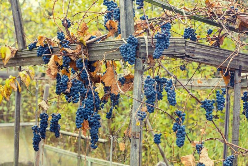 Uvas maduras en un viñedo Gran cosecha de la uva foto de archivo