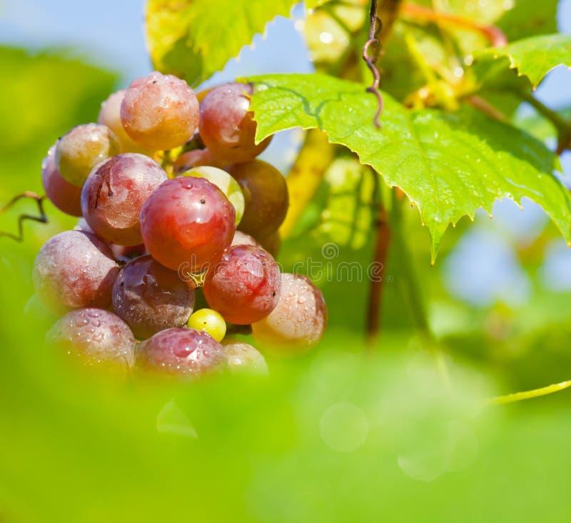 Uvas maduras en vid foto de archivo