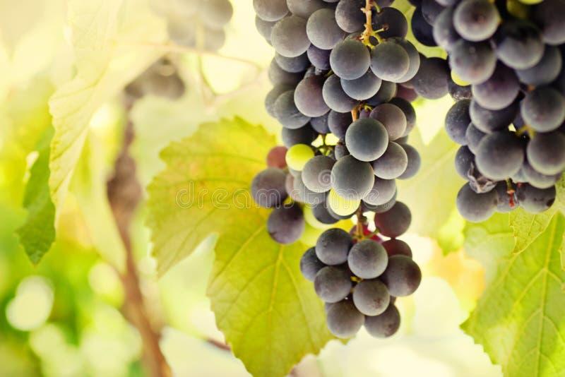 Uvas maduras frescas foto de archivo libre de regalías