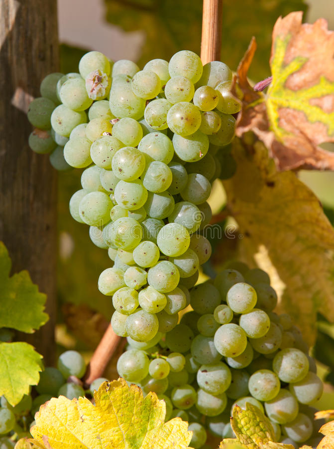 Uvas maduras frescas imagenes de archivo