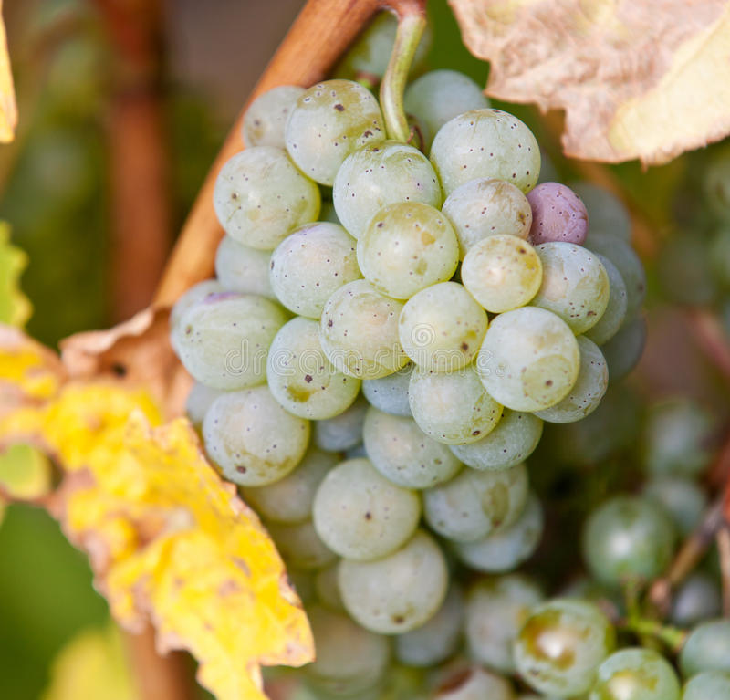 Uvas maduras frescas imagen de archivo