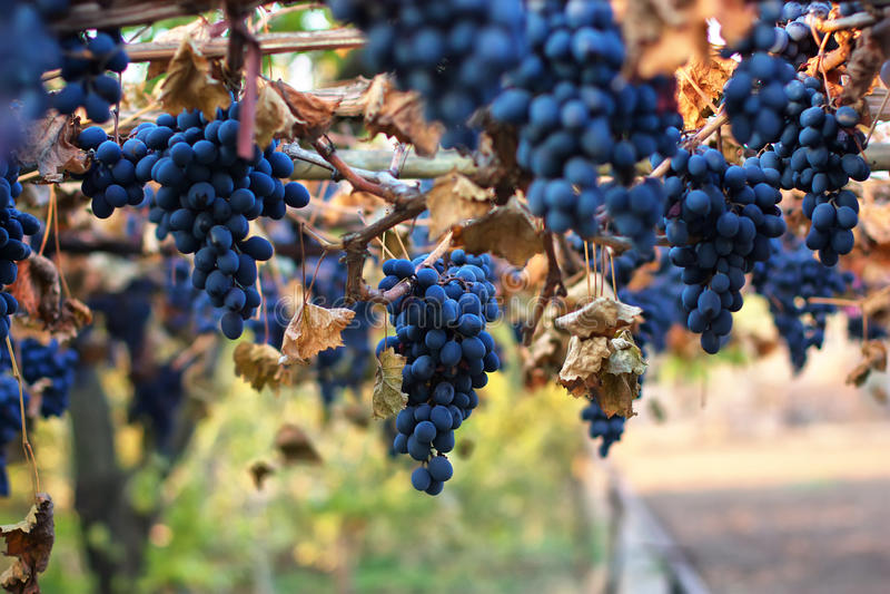 Uvas maduras Moldova foto de archivo libre de regalías
