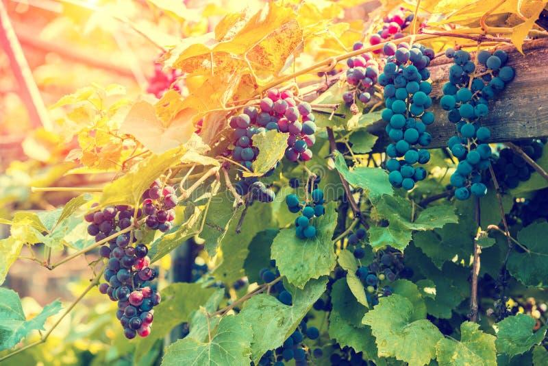 Uvas maduras rojas en la vid foto de archivo libre de regalías