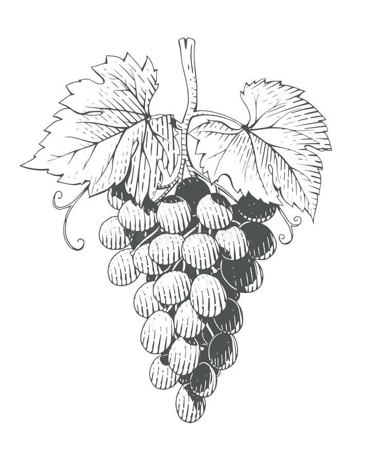 Uvas Manojo de Berrys en estilo del grabado libre illustration