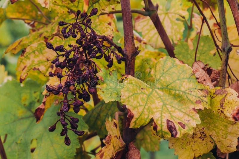 Uvas marchitadas viejas en un lagar foto de archivo libre de regalías