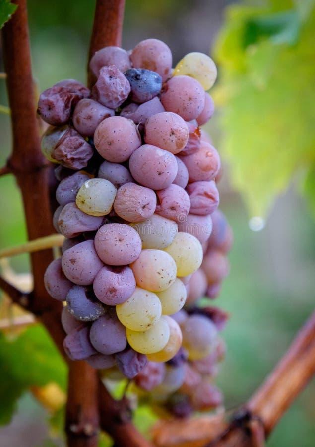 Uvas mouldy brancas dos Sauternes na chuva fotografia de stock royalty free