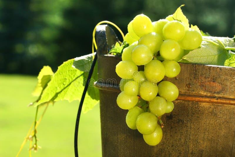 Uvas na cubeta de vinho foto de stock