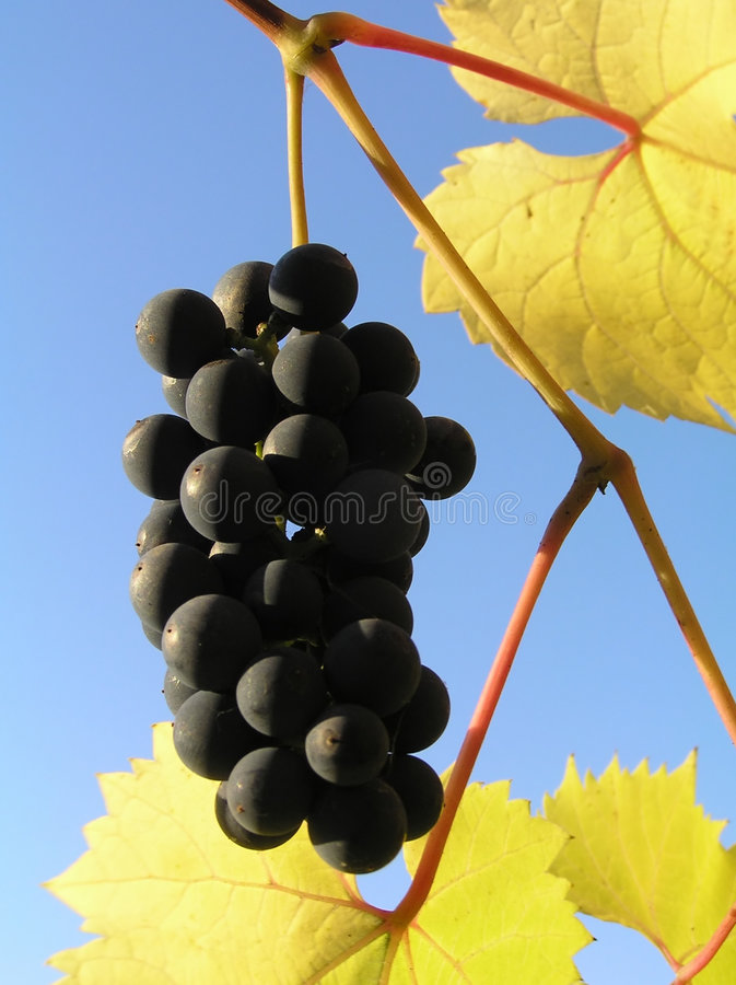 Uvas negras foto de archivo