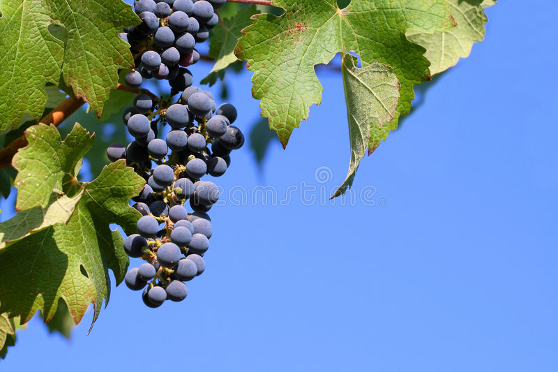 Uvas no vinhedo imagens de stock