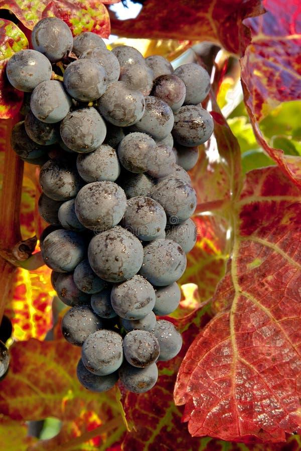 Uvas púrpuras imagenes de archivo