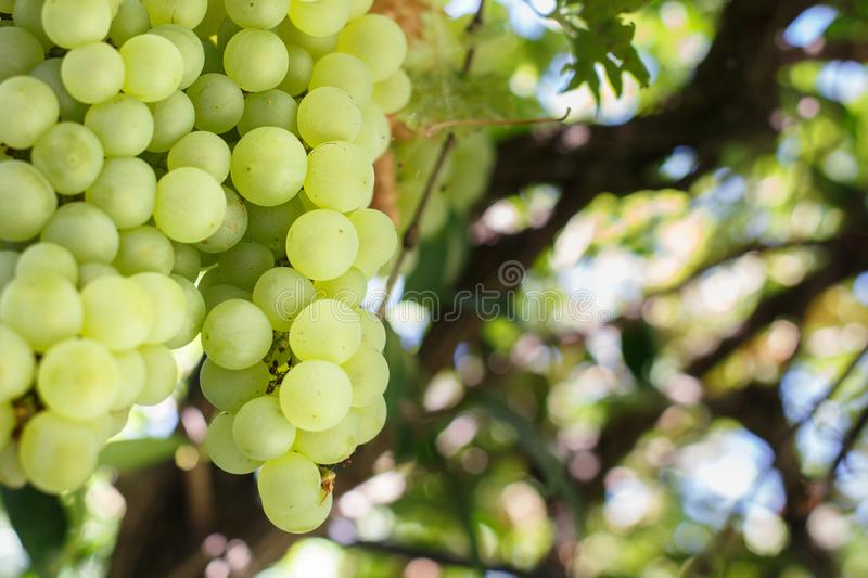 Uvas para a vinha italiana em close-up foto de stock