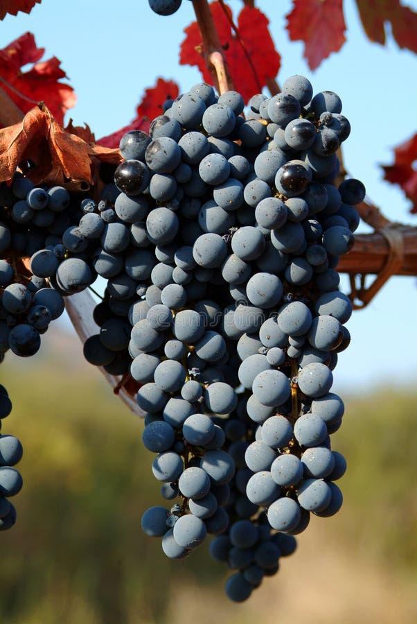 Uvas para vinho fotografia de stock