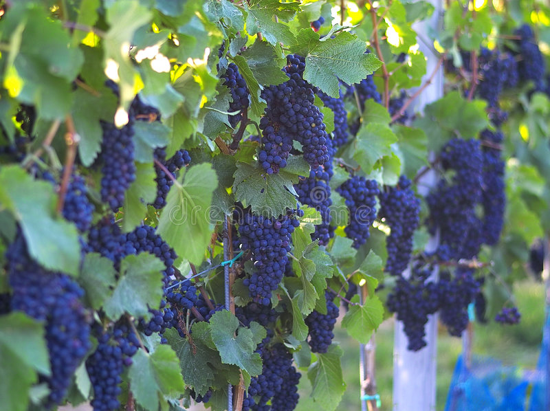Uvas para vinho foto de stock