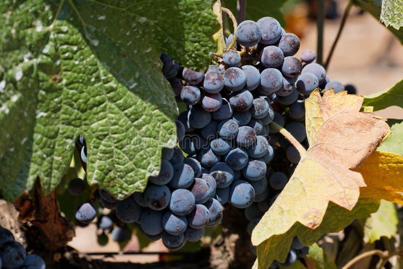 Uvas para vinho fotos de stock royalty free