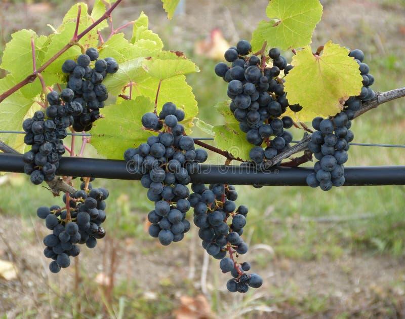 Uvas para vinho azuis antes da colheita foto de stock royalty free
