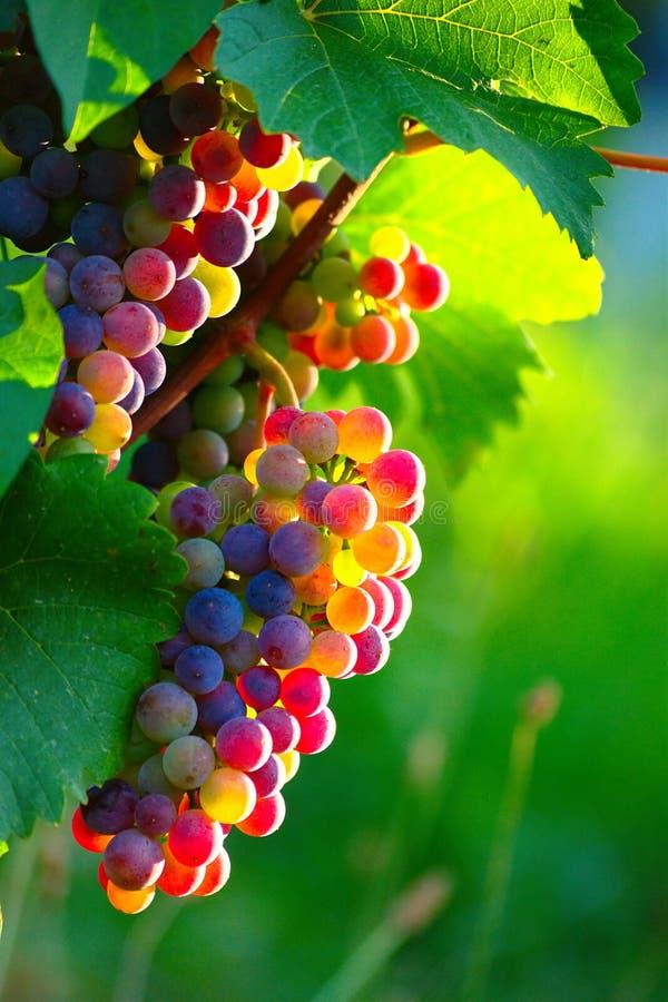 Uvas para vinho azuis de amadurecimento foto de stock royalty free