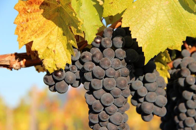 Uvas para vinho azuis maduras imagem de stock royalty free