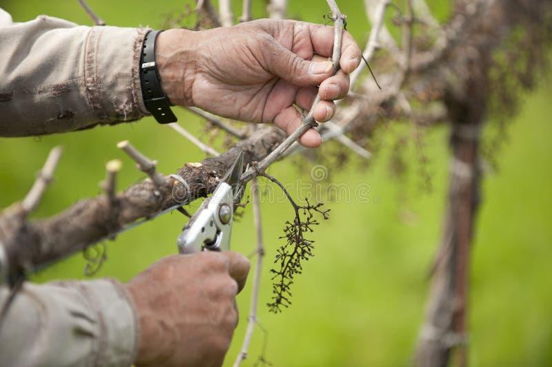 Uvas para vinho de poda de Califórnia fotografia de stock royalty free