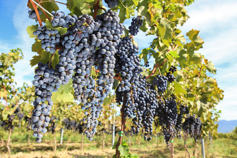 Uvas para vinho de Toscânia imagem de stock royalty free