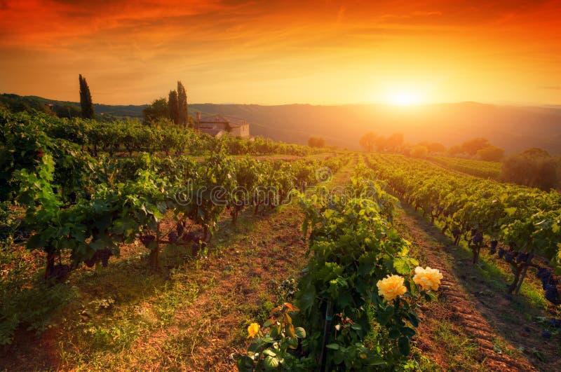 Uvas para vinho maduras em videiras em Toscânia, Itália Exploração agrícola do vinho, luz morna do por do sol imagens de stock
