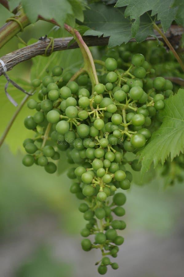Uvas para vinho novas de Bourgogne foto de stock