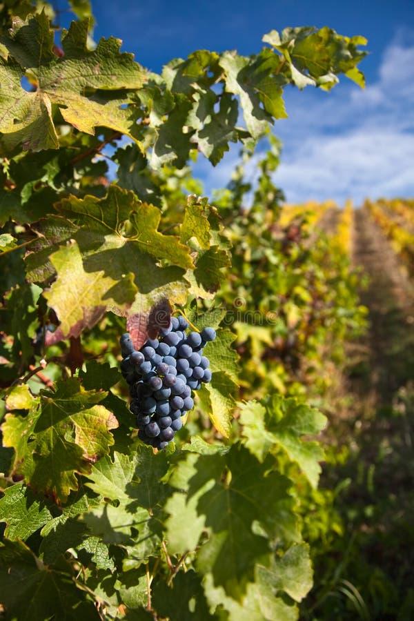 Uvas para vinho portuárias no vinhedo foto de stock royalty free