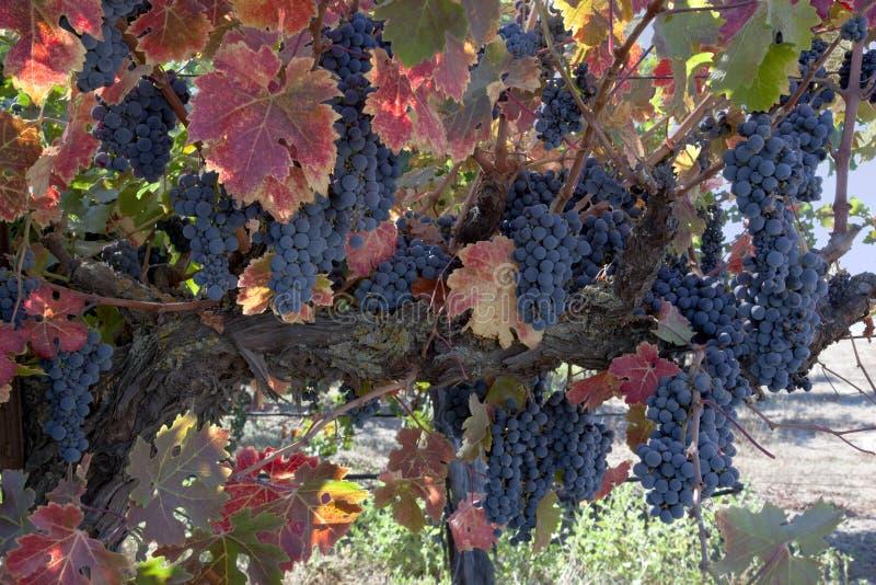 Uvas para vinho vermelhas na videira fotos de stock royalty free