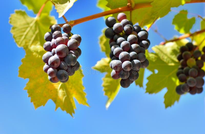 Uvas pretas nos ramos fotos de stock