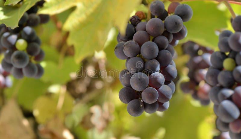 Uvas pretas que crescem na folha no vinhedo foto de stock