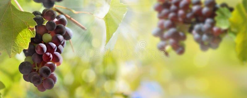 uvas pretas que crescem na iluminação da folha pelo sol foto de stock royalty free