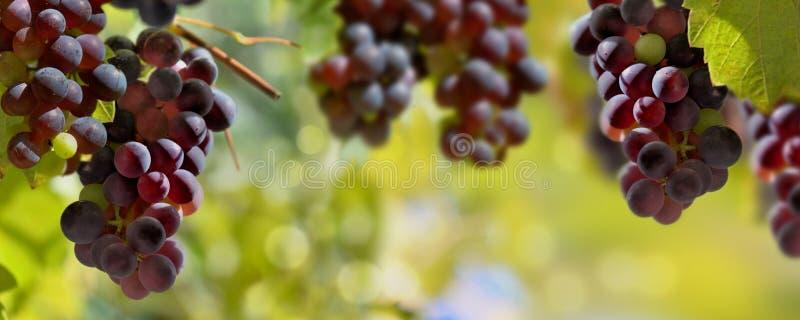 Uvas pretas que crescem na ilumina??o do vinhedo pelo sol fotografia de stock royalty free