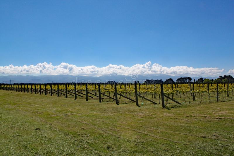Uvas que crecen en el área del vino de Martinborough en Nueva Zelanda imagenes de archivo