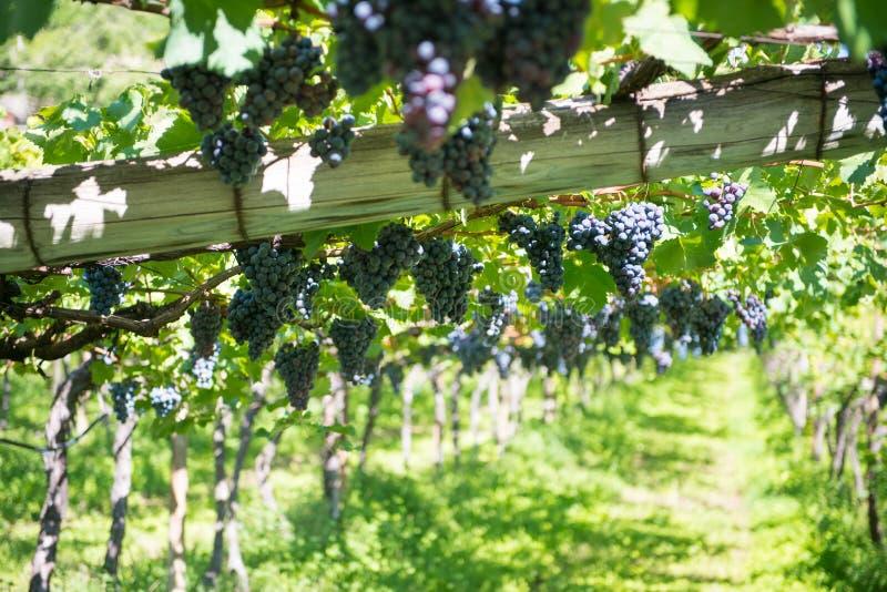 Uvas que penduram em videiras no culivation do vinho fotos de stock royalty free