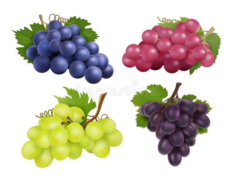 Uvas realísticas Grupo do vetor de vária variedade da uva ilustração royalty free