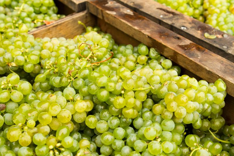 Uvas recientemente escogidas del vino blanco imagenes de archivo