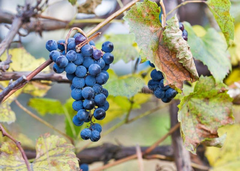 Uvas rojas en el viñedo en la luz del sol imágenes de archivo libres de regalías