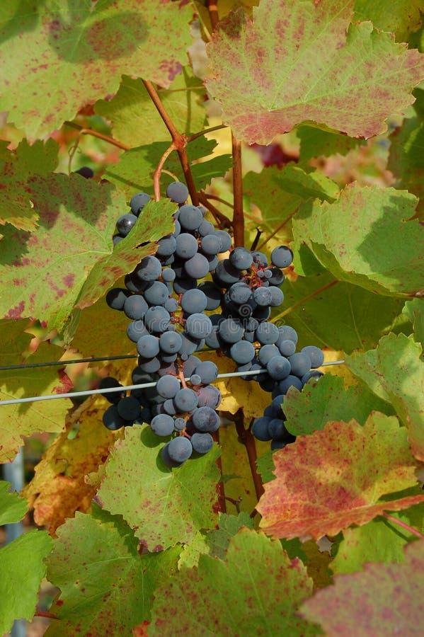 Uvas rojas en un viñedo fotografía de archivo