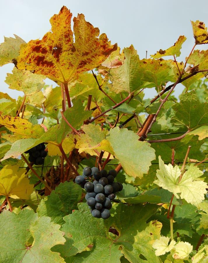 Uvas rojas en un viñedo fotos de archivo