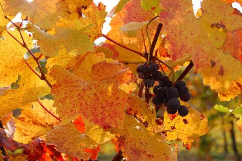 Uvas rojas en un viñedo con las hojas de oro imágenes de archivo libres de regalías