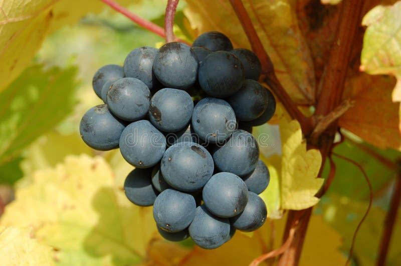 Uvas rojas en un viñedo, primer fotografía de archivo