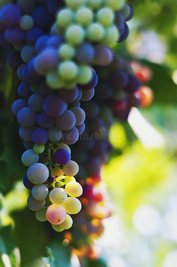 Uvas rojas iluminadas por el sol foto de archivo