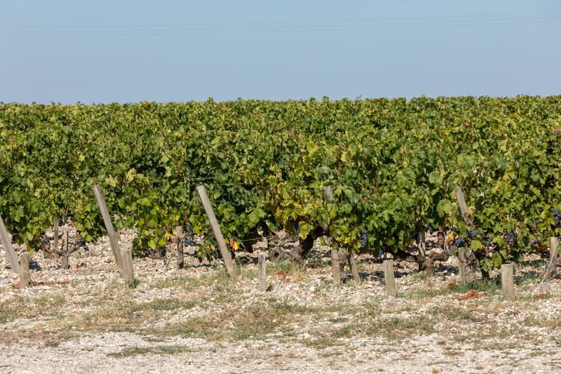 Uvas rojas maduras en filas de vides en un vienyard antes de la cosecha del vino en Margaux imagen de archivo libre de regalías