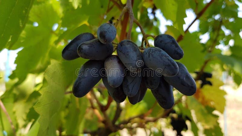 Uvas roxas com o close up oblongo das bagas da forma com fundo borrado Grupo das uvas azuis maduras que penduram na videira fotos de stock royalty free